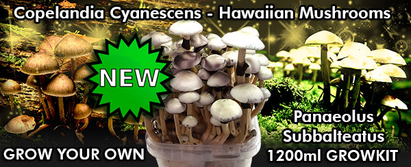 buy copelandia cyanescens hawaiian mushroom grow kit