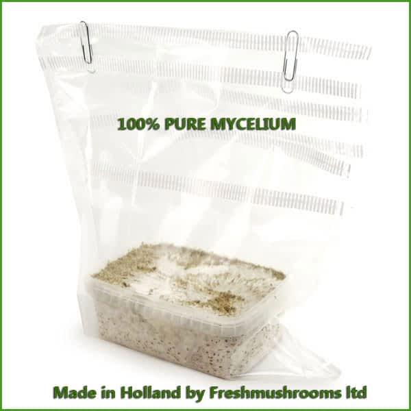 Ecuador 100% mycelium growkits