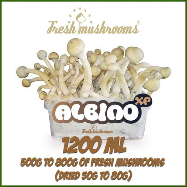 Albino A grow kit freshmushrooms